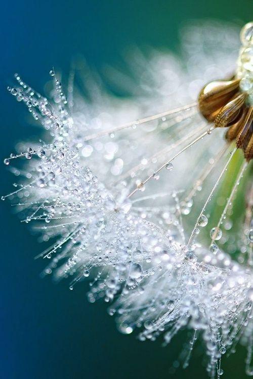 Dewy #Dandelion Detail. #Dew #Naturally http://seasonalwonderment.tumblr.com/post/112874189333❤️