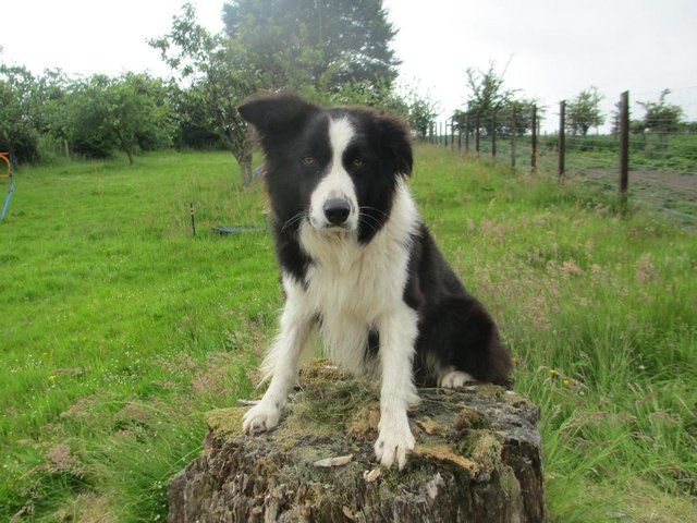Quality KC Reg Long Haired Border Collie Pups For Sale in Oban, Argyll And Bute | Preloved