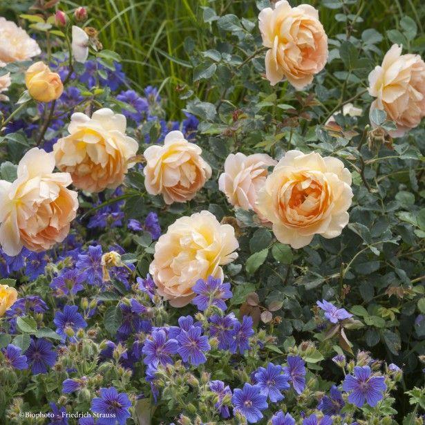17 meilleures id es propos de rosier en pot sur - Petit rosier en pot ...