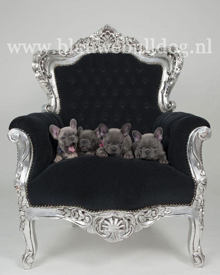 Blue French bulldog puppies on a chair