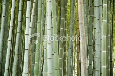 Bamboo grows at Arashiyama, Kyoto, Japan