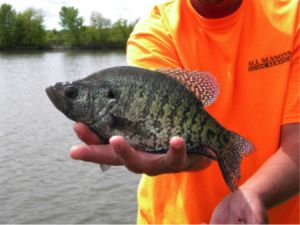 WANT CRAPPIE – GO TO THE BUSHES IN SPRING