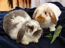 The Holland Lop is a breed of rabbit originating in the Netherlands. The breed was recognized by the Netherlands' Governing Rabbit Council in 1964 and the American Rabbit Breeders' Association in 1979. They are popular house pets, known for their sweet temperament and nonaggressive behavior, though they retain a certain doglike tenacity.