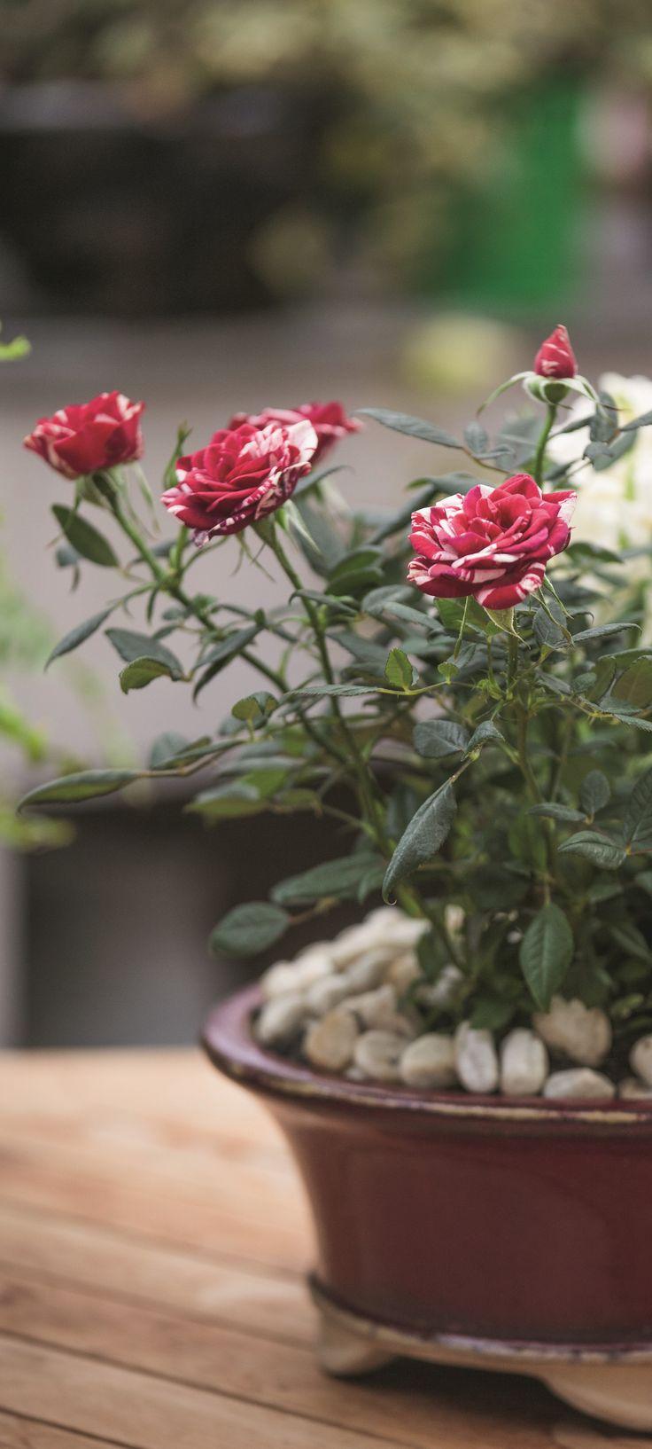 Mini-rosier en fleur Jardinière associant des jacinthes blanches en fleur, de l'helxine, un mini-rosier.