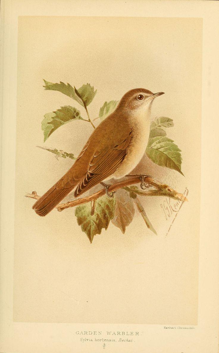 birds of the british islands - 3125 Garden warbler - Sylvia hortensis - Gravures, illustrations, dessins, images