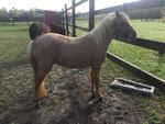 Mini Horses for sale - Shetland ponies for sale - mini tack featured for sale.