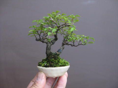 盆栽:フェイスブックに載せた写真より 4 春嘉の盆栽工房