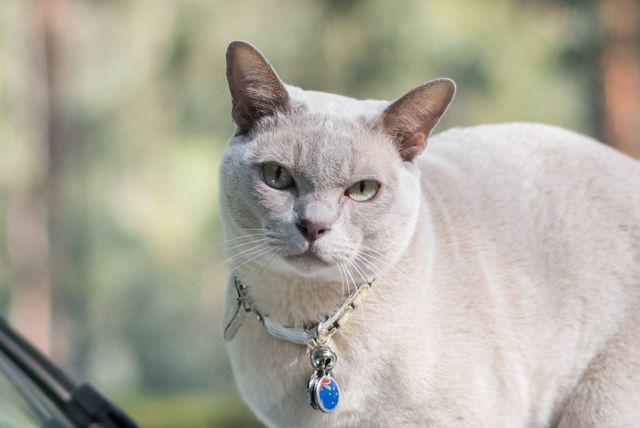 Sumi the Burmese Cat Road Tripping Australia - Van Cat Meow