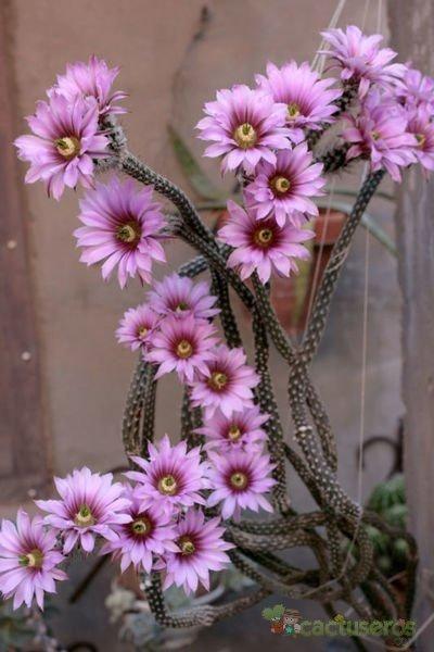 Echinocereus poselgeri
