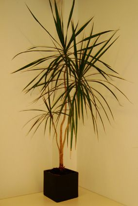 Dracaena Marginata which is more well known as the Madagascar Dragon Tree