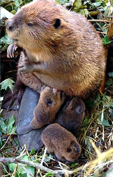 Mama beaver and her 3 babies