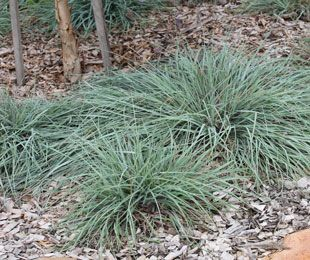 MINGO is a blue foliage ground cover Kangaroo Grass | Ornamental Native Grass