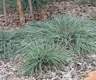 MINGO is a blue foliage ground cover Kangaroo Grass | Ornamental Native Grass