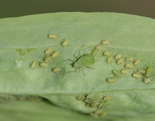 Homemade Insecticidal Soap Recipe to Kill Aphids