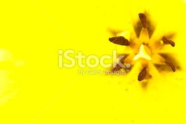 Yellow Tulip Close-Up Background with Copy Space Royalty Free Stock Photo