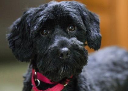 Petango.com – Meet Elvira, a 6 years Spaniel, English Cocker / Poodle, Standard available for adoption in COLORADO SPRINGS, CO