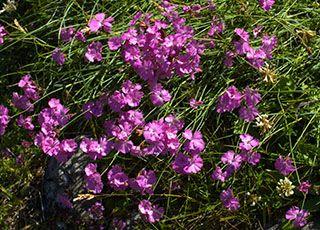 Garofiţa de pădure (Dianthus sylvestris)
