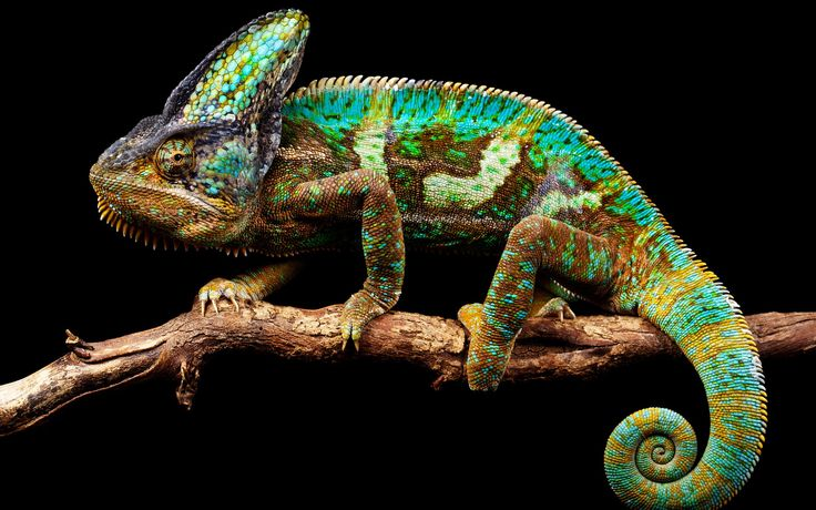 i did a report on chameleons in 3d grade. what stuck with me was not their legendary color-camouflage ability or their long sticky tongues but their (often) spiral prehensile tails. later in life i adapted it for use as a verb, to chamele, to describe my tendency to try to control my environment by shifting my personality to match whomever i was with, for self-defensive and people-pleasing purposes.