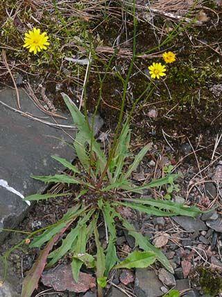 Syysmaitiainen, Leontodon autumnalis - Kukkakasvit - LuontoPortti