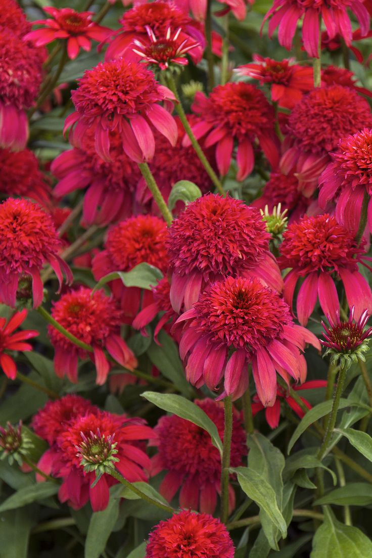 List of annual flowers ided by color sun amp shade types - Double Scoop Cranberry Coneflower Has Giant Flowers That Are Constantly Swirling With Bees And Butterflies