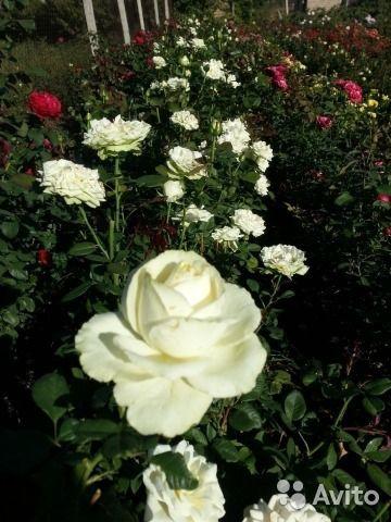 Саженцы роз роза в горшках самшит кусты роз роза — фотография №1