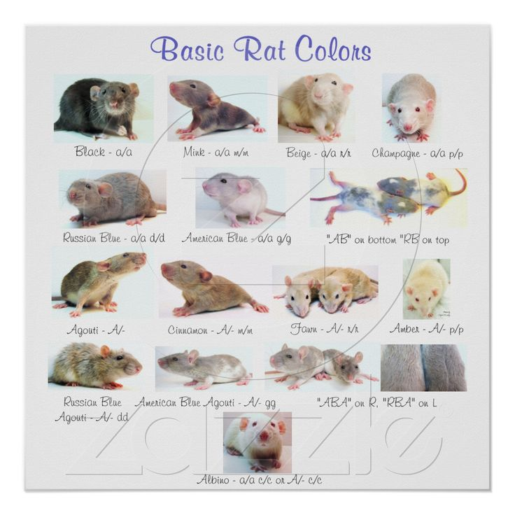 basic rat colors poster color posters girls and student