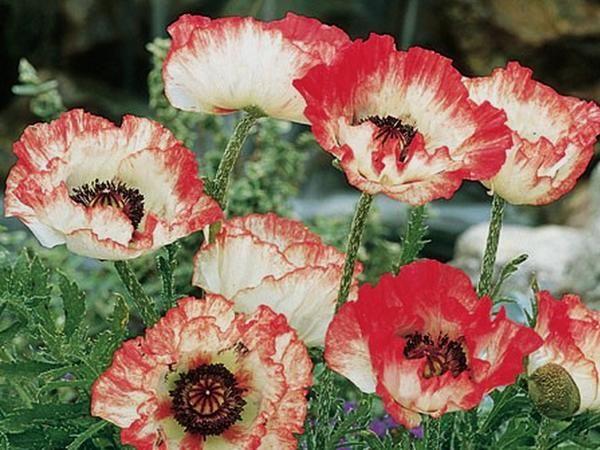 Мак восточный  — многолетник, представляет из себя одиночные цветки около 20 см диаметром на прямом опушенном стебле около 100 см высотой.