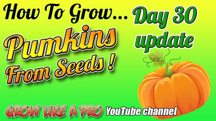 Growing Pumpkins From Seeds Day 30 Update !