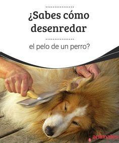¿Sabes cómo desenredar el pelo de un perro? - Mis animales  El pelo de un perro, si es largo, puede crear una serie de complicaciones al cuidarlo, como esos dichosos nudos que no sabemos cómo desenredar.