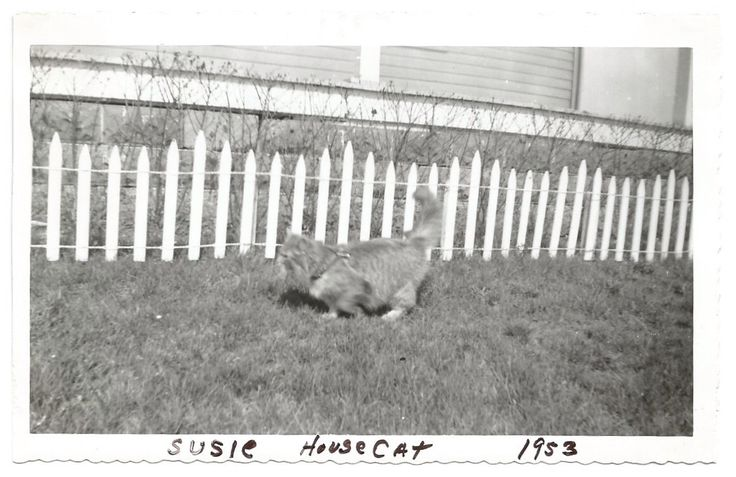 Susie House Cat - Vintage Snapshot - Long-haired Cat - Vintage Photo - Kitty - Cat Leash - Found Original Photo by SunshineVintagePhoto on Etsy https://www.etsy.com/listing/385334012/susie-house-cat-vintage-snapshot-long