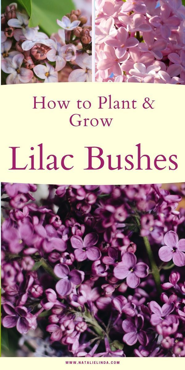 How To Grow A Lilac Bush For Beautiful Blooms In The Spring Natalie Linda In 2020 Flower Garden Care Lilac Bushes Beautiful Flowers
