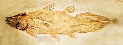 An excellent read on the top cited genomes of 2013: Zebrafish, Norwary spruce, African coelacanth fish, Yunnan black goat, & the diamondback moth. Image is of a fossil of the African coelacanth fish.