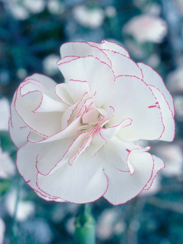 Dianthus are Hardy Perennials with Colorful Blooms