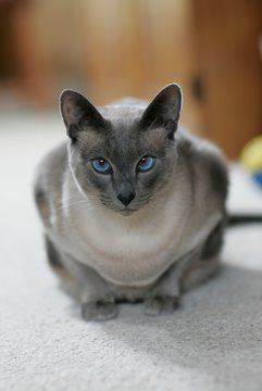 Blue Point Siamese cats ... Sooo pretty!! Join us as we welcome our newest member of our family ---Milan.....