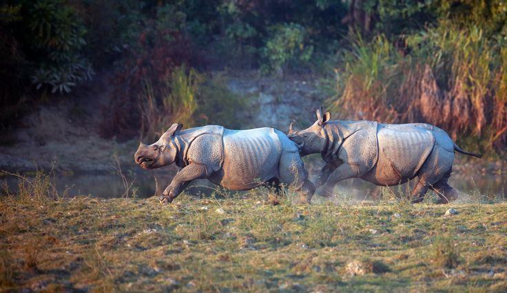 Rhinos playing tag by Vishwa Kiran on 500px