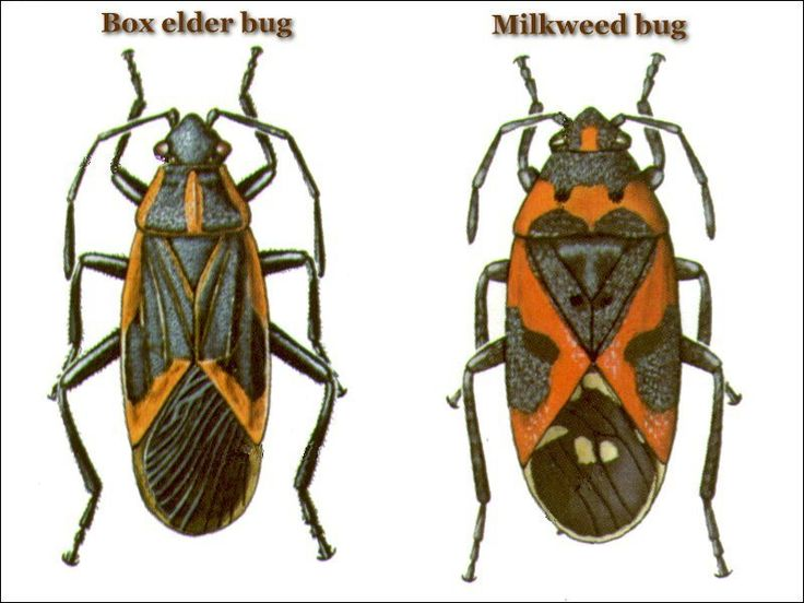 Box Elder Bug Page - United Exterminating Company - Cherry Hill, NJ