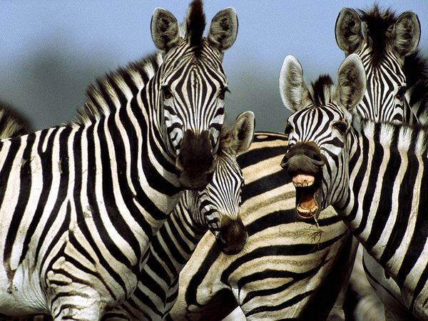 Love Zebras - No animal has a more distinctive coat than the zebra. Each animal's stripes are as unique as fingerprints—no two are exactly alike—although each of the three species has its own general pattern.