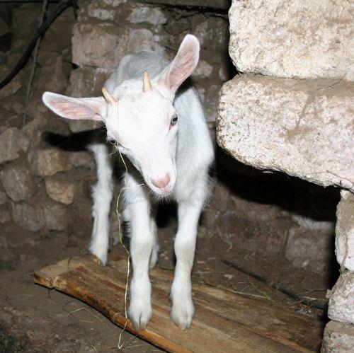 Ferme Auberge de la Chèvrerie La Huberdière in Liesville sur Douve near Sainte-Mere-Eglise in Cotentin ~ visit a goat farm and have a meal