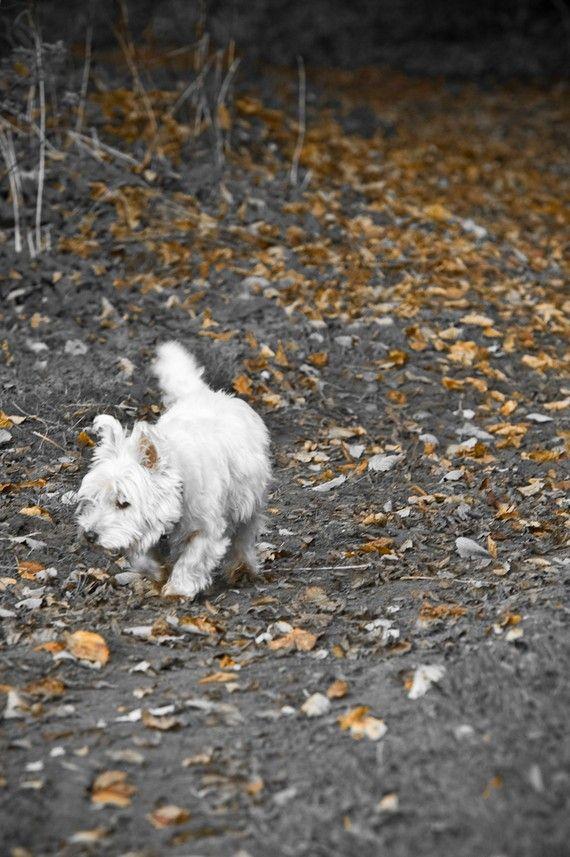 I am Crumpet 6  West Highland terrier  Fine Art by shortwork, £10.00