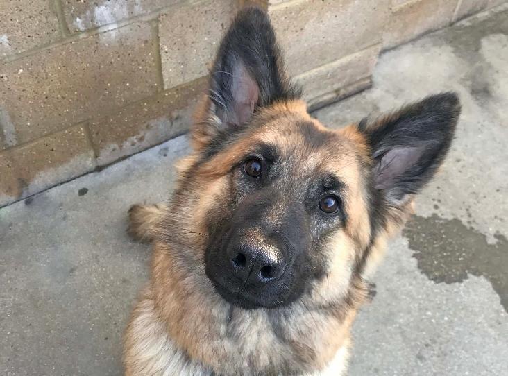 Bella Find A Pet Rspca Org Uk Pets Dogs German Shepherd