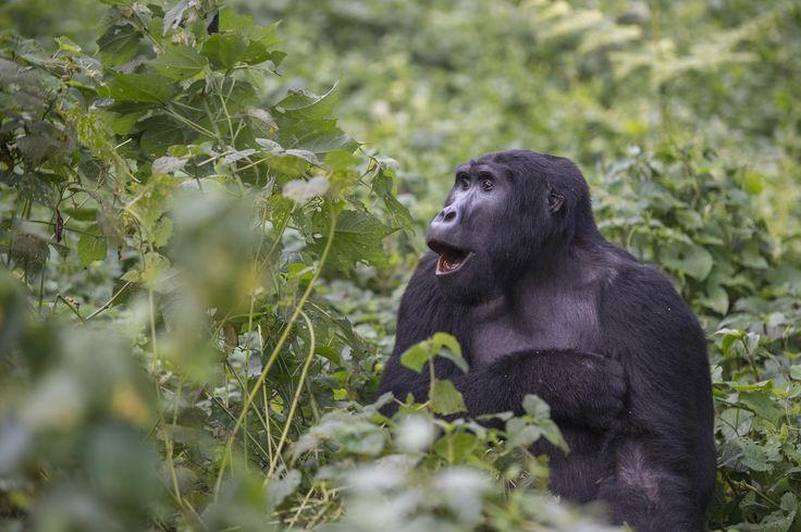 VIDEO: Deze dansende gorilla zet het weekend goed in - Libelle