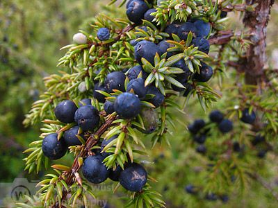 Wacholderbeere Juniperus Lappland