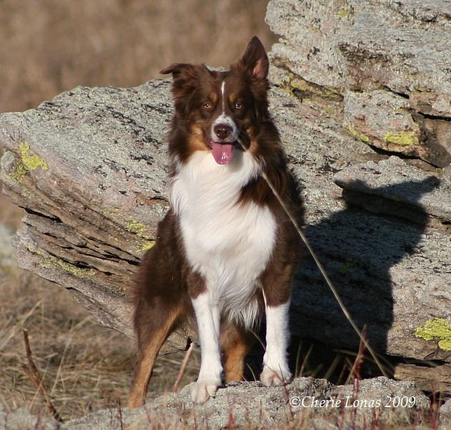 red tri mini australian shepherd-Abby's ears do the same thing.  A great dog.