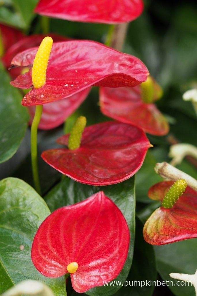 A striking red Anthurium, pictured inside the Butterfly Dome, at the RHS Hampton Court Palace Flower Show 2017.