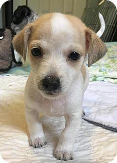 Arlington, WA - Jack Russell Terrier/Rat Terrier Mix. Meet Tenny   a small Terrier puppy, a puppy for adoption. http://www.adoptapet.com/pet/18445673-arlington-washington-jack-russell-terrier-mix