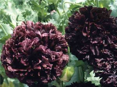 2016 Black Peony - Poppy. One of these came up by accident, and it's gorgeous! 5-6 inch blooms. I'll be saving seed.