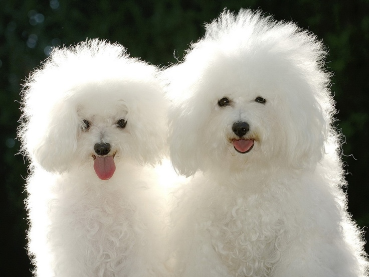poodle wallpaper for walls - photo #23