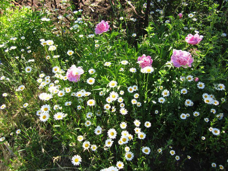 Розовые пионы и нивяник замечательно смотрятся вместе.