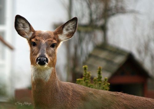 Backyard Deer In Ellicott City Maryland Keep Up The Great Work, This Is  Great, This Is Great, {also