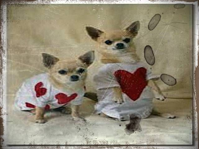 25+ best ideas about Husky chihuahua mix on Pinterest ...